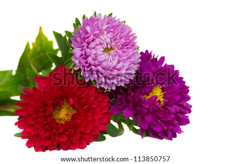 bouquet of  three aster flowers   isolated on white background - stock photo