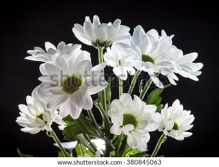 Bouquet of white flowers of a chrysanthemum isolated on black background - stock photo