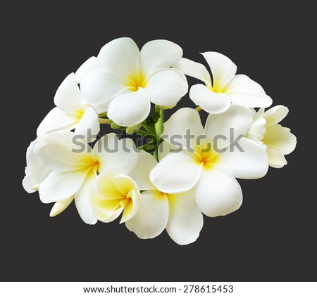 bouquet of white plumeria frangipani flowers isolated on black background - stock photo