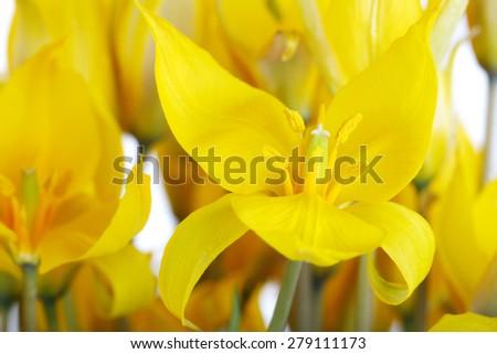 Bouquet of yellow wild tulips - stock photo
