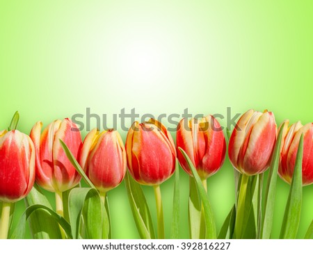 Bouquet / row of red and yellow tulips isolated on fresh spring green background. Romantic spring tulip flowers border frame for Easter / Mother's day greeting cards, wallpapers, backgrounds.  - stock photo