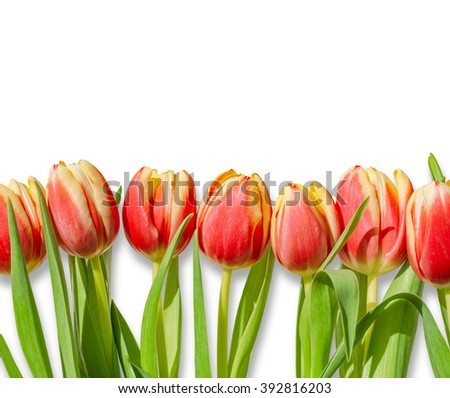 Bouquet / row of red and yellow tulips isolated on white background. Romantic spring tulip flowers border frame for Easter / Mother's day greeting cards, wallpapers, backgrounds.  - stock photo
