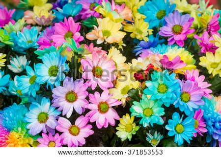 Bouquets of blossom rainbow Chrysanthemum flowers decorated in flower garden - stock photo
