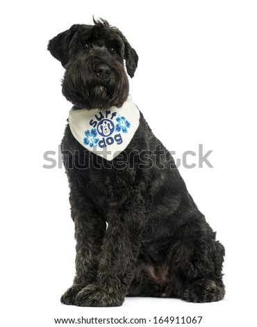 Bouvier des Flandres with bandana, sitting, 2 years old, isolated on white - stock photo