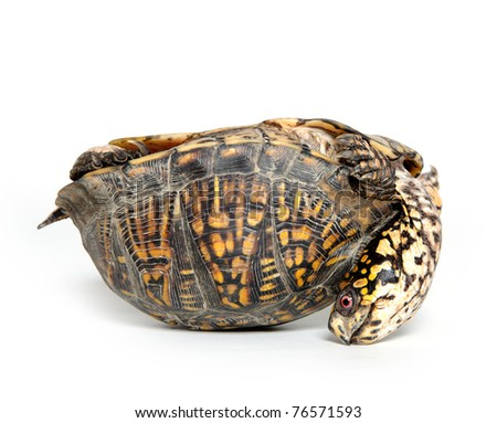 Box turtle upside down and on its back on white background - stock photo