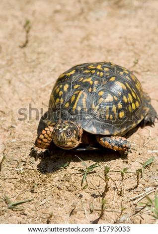Box turtle walking on dry and arid ground. - stock photo