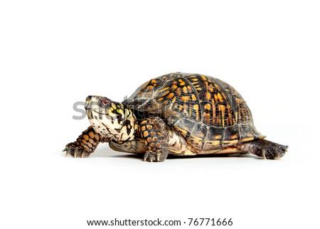 Box turtle walking on white background - stock photo