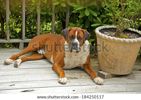 Boxer Bulldog laying looking at the camera. - stock photo