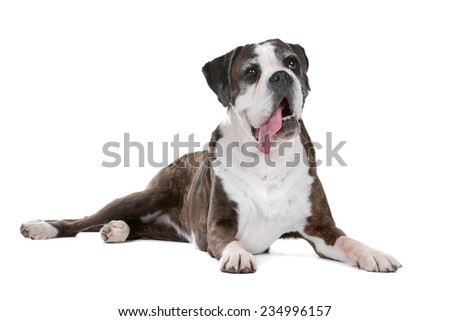 Boxer dog - stock photo