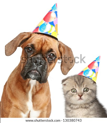 Boxer dog and Scottish fold cat in party cap on white background - stock photo