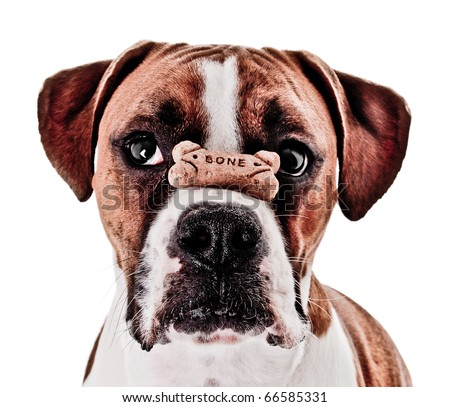 Boxer Dog Balancing Treat on Nose - stock photo