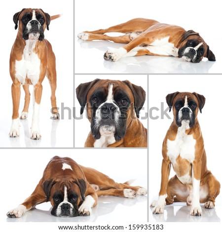 Boxer dog - Collage - stock photo
