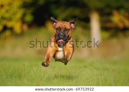 Boxer Dog comes in the flight above the meadow - stock photo