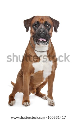 Boxer dog in front of a white background - stock photo