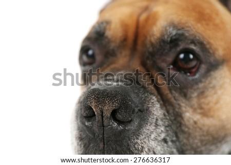 Boxer dog isolated on white background - stock photo