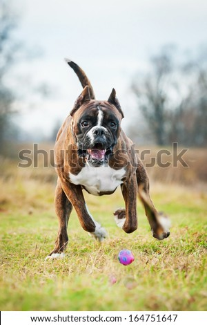 Boxer dog playing with ball - stock photo