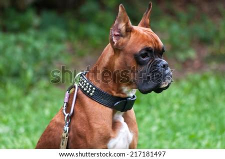 boxer dog portrait close up - stock photo