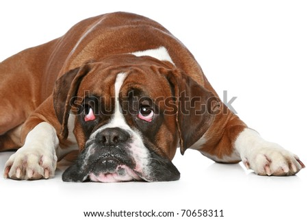 Boxer dog sad, lying on a white background - stock photo