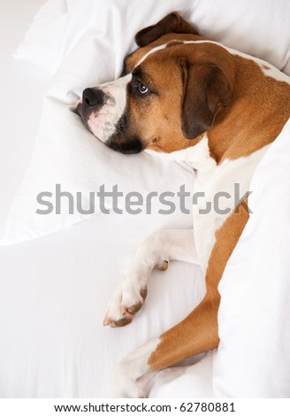 Boxer Dog Sleeping Between Sheets on Owner's Bed - stock photo