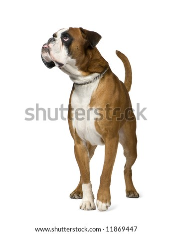 Boxer in front of white background - stock photo