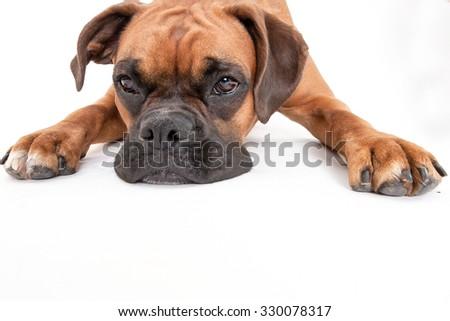 Boxer laying in studio on white - stock photo