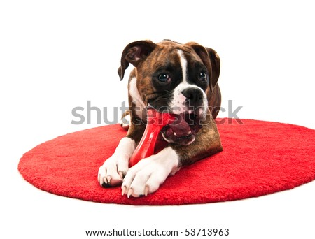 Boxer Puppy Chewing Toy isolated on white studio shot training - stock photo