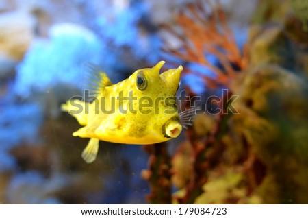 Boxfish longhorned, yellow boxfish (Lactoria cornuta) in their natural habitat - stock photo