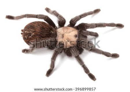 Brachypelma albiceps or Mexican golden red rump tarantula, close up isolated on white background - stock photo