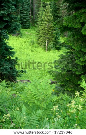 Bracken fern meadow in the Oregon cascades. - stock photo