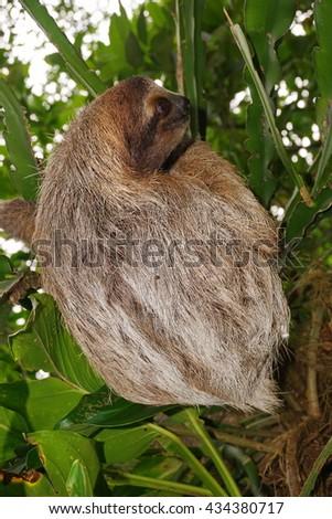 Bradypus variegatus, three-toed sloth wild animal in the jungle of Costa Rica, Central America - stock photo