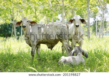 Brahman Cattle Raised in conversion of rubber - stock photo