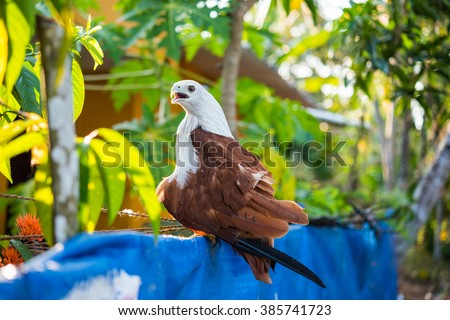 Brahminy kite (Haliastur indus) sits on a fence of a regular house in Alleppey (Kerala). Having these kites as a pet is usual there - stock photo