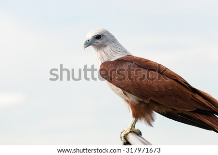 Brahminy Kite (Haliastur indus) stand on the branch - stock photo