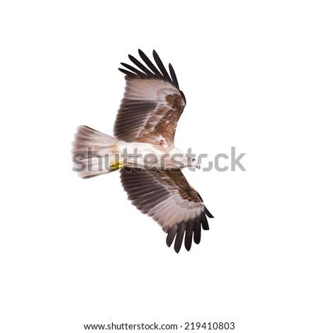 Brahminy kite, Red-backed sea-eagle - stock photo