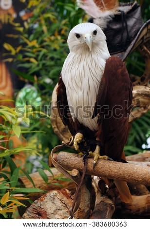 Brahminy kite (Red-backed sea-eagle) - stock photo