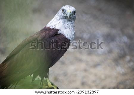 Brahminy Kite (Red-backed Sea Eagle) in zoo - stock photo