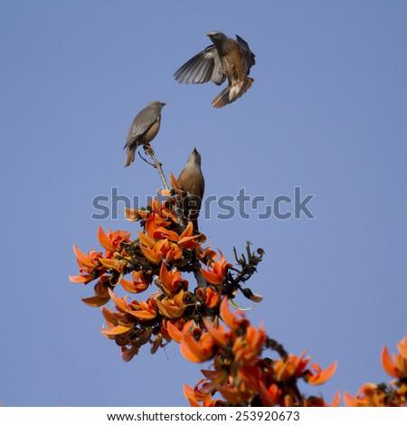Brahminy starling bird in Bardia, Nepal : specie Sturnus malabaricus  - stock photo