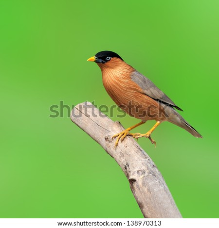 Starling Bird Images Brahminy Starling Bird on
