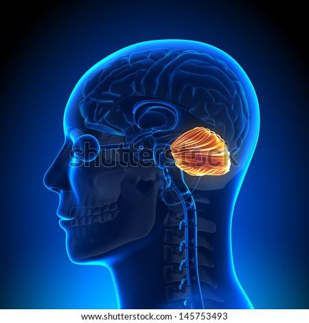 Brain Anatomy - Cerebellum - stock photo