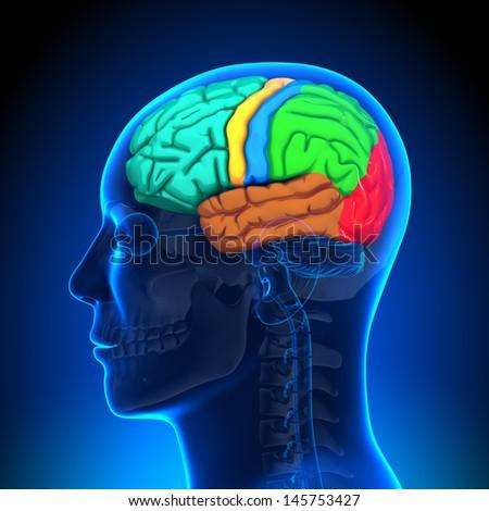 Brain Anatomy - Color - stock photo