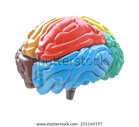 Brain lobes in different colors isolated on white background  - stock photo