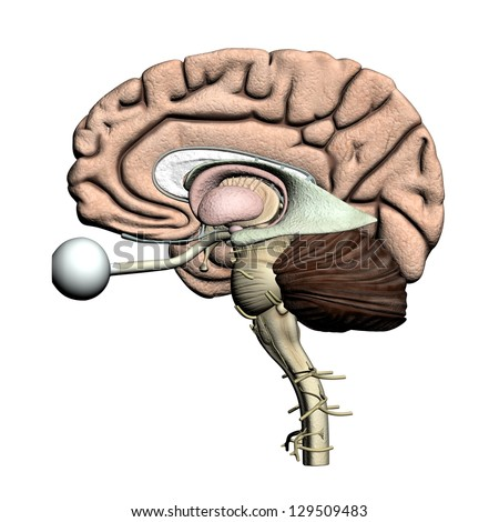 Brain parts - Lateral view - stock photo