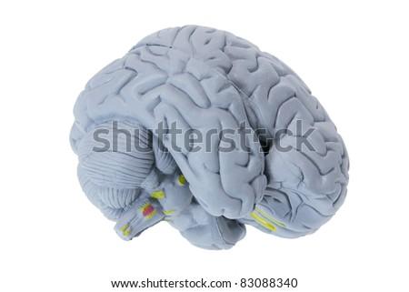 Brain Specimen on White Background - stock photo