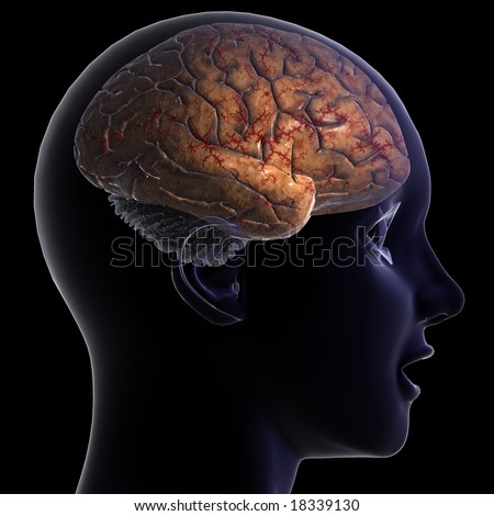 Brain This Anatomically correct human brain that is high definition rendered. - stock photo