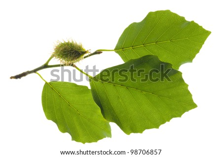 branch and beech leaf isolated over white background - stock photo
