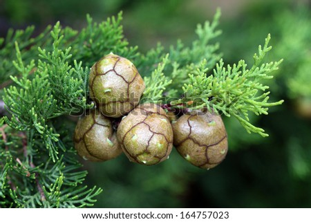 branch and cypress fruits close up - stock photo
