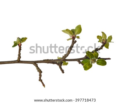 Branch apple tree with buds on a white background isolated - stock photo