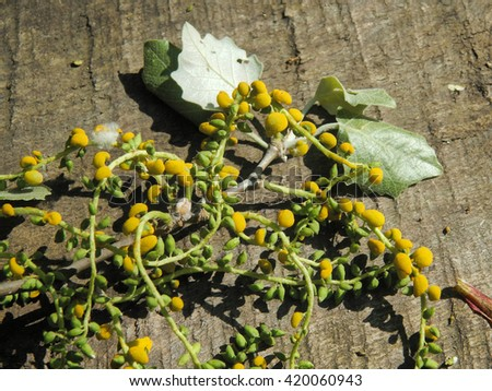 Branch blossoming poplar down on a bench close-up - stock photo