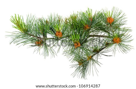 branch cedar pine with pollen - stock photo