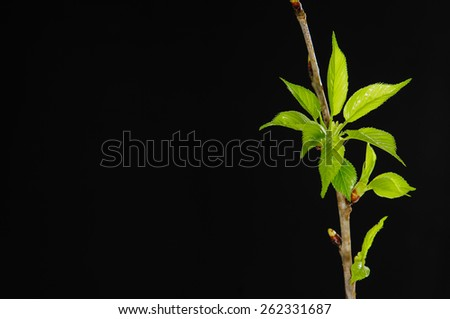 Branch cherry twig in bloom isolated-black background - stock photo
